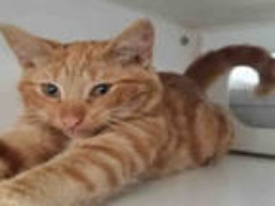 Adopt CHEETO a Orange or Red Domestic Shorthair / Mixed (short coat) cat in