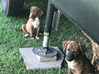 Boxer Mix puppies that need new homes