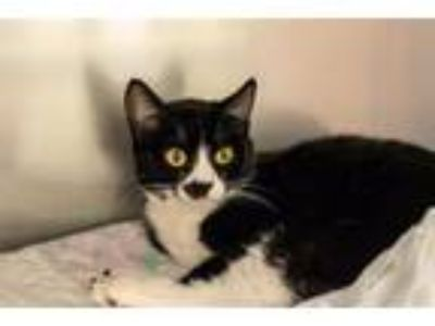 Adopt Cameo 25486 a Domestic Short Hair