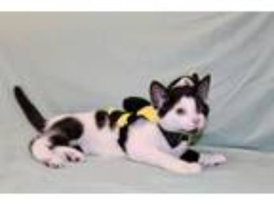 Adopt Simon kitten a Domestic Short Hair