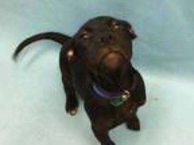 Adopt Lou a Black Retriever (Unknown Type) / Mixed dog in Golden Valley