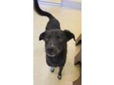 Adopt Pepper a Black Shepherd (Unknown Type) / Mixed dog in Cedar Hill