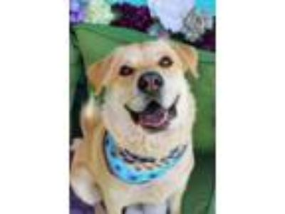 Adopt Golden Boy a Golden Retriever, Chow Chow