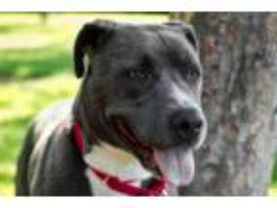 Adopt Misty a Gray/Silver/Salt & Pepper - with White American Pit Bull Terrier /