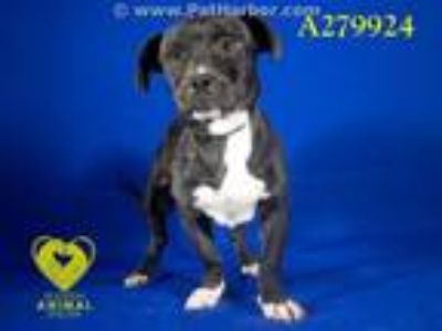 Adopt A279924 a Boston Terrier, Mixed Breed