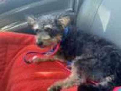 Adopt Blue a Yorkshire Terrier, Terrier