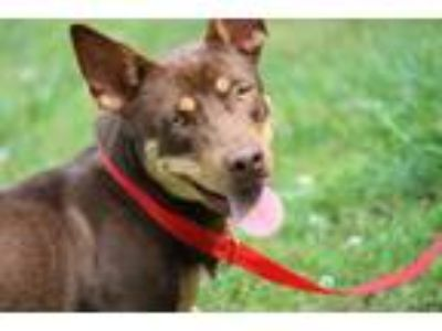 Adopt Cucumber a Brown/Chocolate - with Tan Doberman Pinscher / Basset Hound /