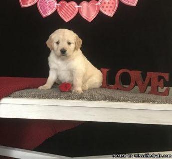 LDOAD M\F AKC Golden Retriever Puppies