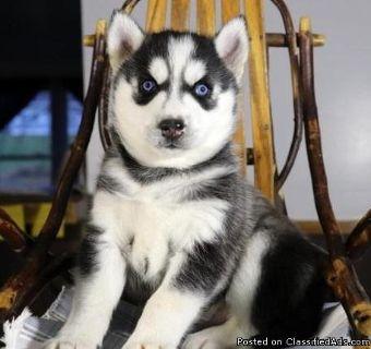 Siberian Husky Puppies Blue Eyes(724xx 427xx 5281