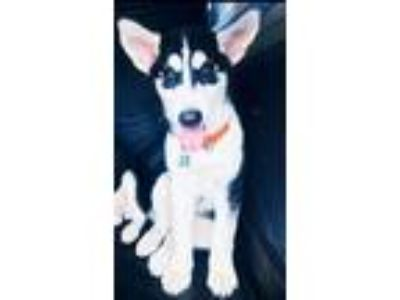 Adopt Atticus a Black - with White Siberian Husky / Mixed dog in Winter Springs