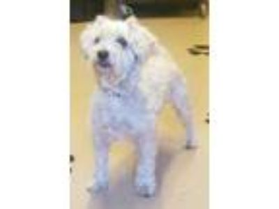 Adopt Lucky a Tan/Yellow/Fawn Poodle (Standard) / Mixed dog in Natchez