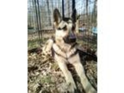 Adopt Darla a German Shepherd Dog