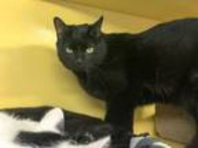 Adopt Cuddy a Domestic Short Hair