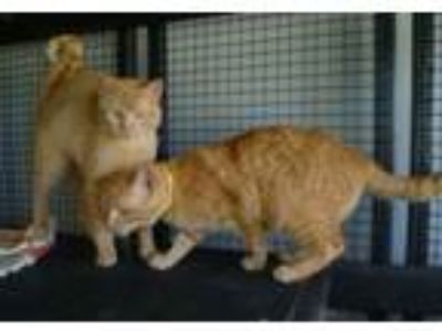 Adopt Orange and Peel a Domestic Short Hair