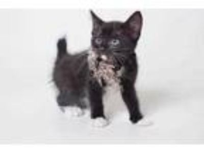 Adopt 19-415C a All Black Domestic Shorthair / Domestic Shorthair / Mixed cat in