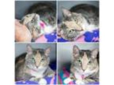 Adopt Tina a Domestic Short Hair, Calico