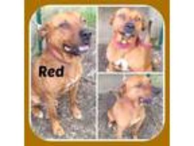 Adopt RED a Staffordshire Bull Terrier