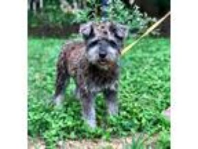 Adopt SPARKY a Gray/Silver/Salt & Pepper - with White Schnauzer (Miniature) /