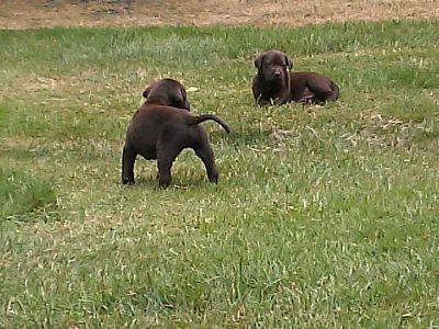 Labrador Retriever PUPPY FOR SALE ADN-80718 - 6 week old Lab puppies
