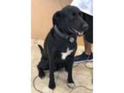 Adopt Max Black a Labrador Retriever, Shepherd