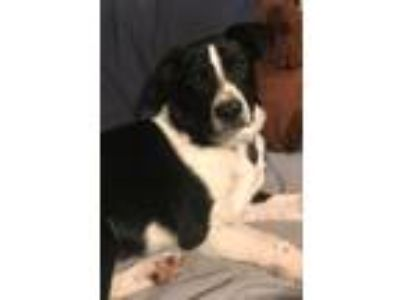 Adopt Bacon a Border Collie, Mixed Breed