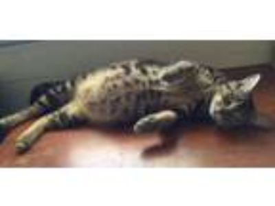 "Adopt Cleopatra - Adopt With Kitten""Smalls"" a Domestic Short Hair, Bengal"
