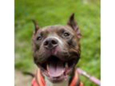 Adopt Meatwad a American Staffordshire Terrier