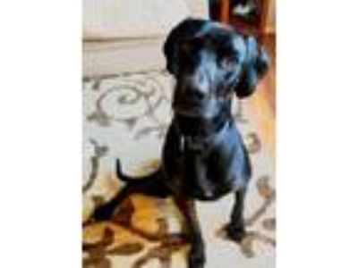 Adopt Myah a Black Labrador Retriever / Great Dane / Mixed dog in Lakeville