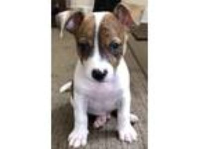 Adopt Wilton a Border Collie, Pit Bull Terrier