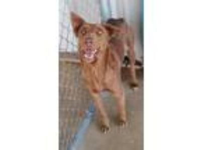 Adopt Mia(PAWS) a Brown/Chocolate Labrador Retriever / Mixed dog in Brownwood