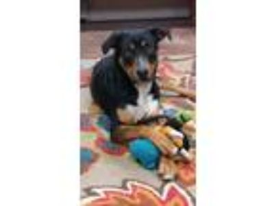 Adopt Roman a Tricolor (Tan/Brown & Black & White) Rottweiler / Mixed dog in