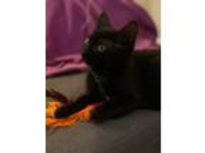 Adopt Metro Cats: Takoma a All Black Domestic Shorthair / Mixed cat in