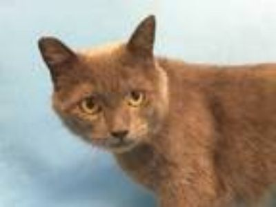 Adopt Cloud a Gray or Blue Domestic Shorthair / Mixed cat in Golden Valley