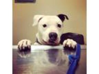 Adopt Gilmore a Staffordshire Bull Terrier, Pit Bull Terrier