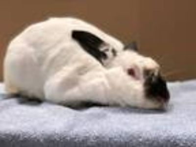 Adopt Panda a White Other/Unknown / Mixed rabbit in Fountain Valley
