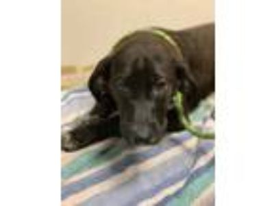 Adopt Clover a Black Retriever (Unknown Type) / Mixed dog in Chicago