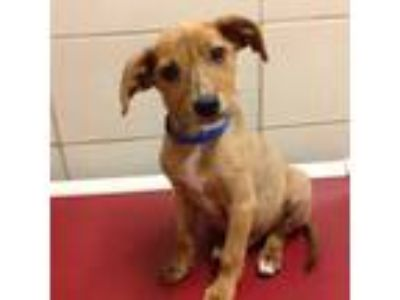 Adopt Lafayette a Tan/Yellow/Fawn Hound (Unknown Type) / Mixed dog in Milwaukee