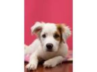 Adopt Flash a Great Pyrenees, Australian Shepherd