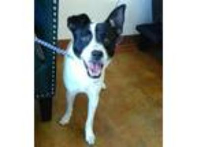 Adopt a White - with Black Rat Terrier / Basenji / Mixed dog in Austin