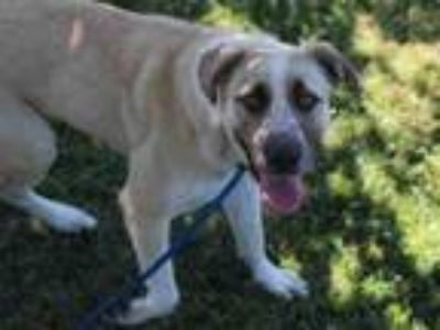 Adopt SHASTA a Anatolian Shepherd, Mixed Breed