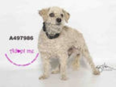 Adopt a White Poodle (Miniature) / Mixed dog in Moreno Valley, CA (25884685)