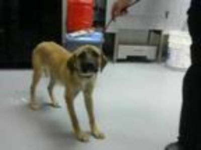 Adopt ALICE a Tan/Yellow/Fawn - with Black Mastiff / Mixed dog in Fayetteville