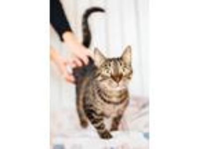 Adopt Maddie a Tan or Fawn Tabby Domestic Shorthair (short coat) cat in