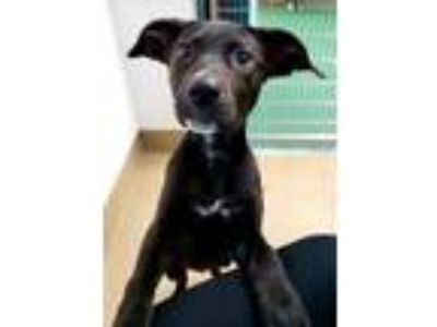Adopt Nebula a Black Labrador Retriever / Mixed dog in Bloomingdale