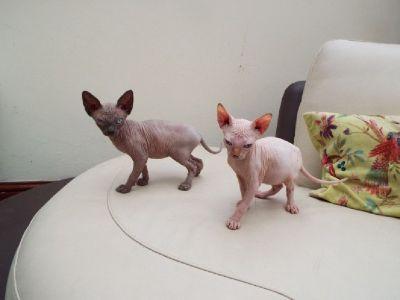 Sphynx Kittens For Reservation