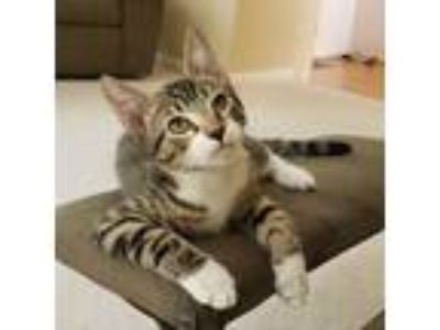Adopt Hiccup a Tiger Striped Domestic Shorthair (short coat) cat in Cherry Hill