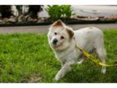 Adopt Cardamom a White - with Tan, Yellow or Fawn Chow Chow / Mixed dog in