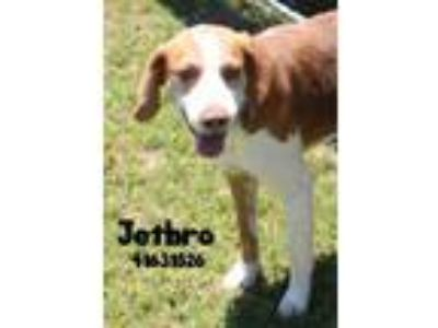 Adopt Jethro a Brown/Chocolate Hound (Unknown Type) / Mixed dog in Gulfport
