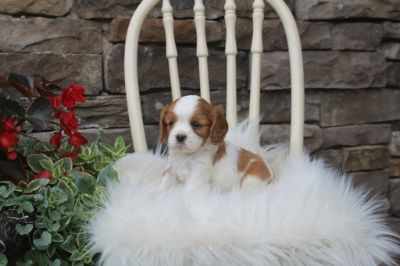 Cavalier King Charles Spaniel PUPPY FOR SALE ADN-87635 - Adorable Rosa