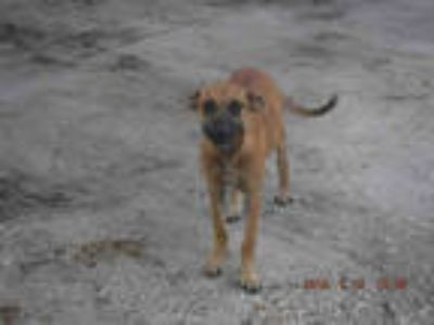 Adopt SKYE a Brown/Chocolate - with Black Belgian Malinois / Mixed dog in Doral